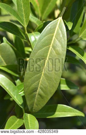 Laurel Cherry Schipkaensis Leaves - Latin Name - Prunus Laurocerasus Schipkaensis