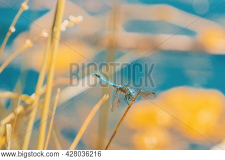 Blue dasher dragonfly on Canada lake.