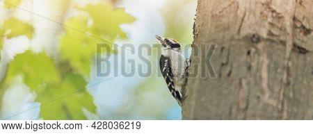 Downy Woodpecker small male bird feeding in forest summer nature banner background. Most common type of woodpeckers in North America.