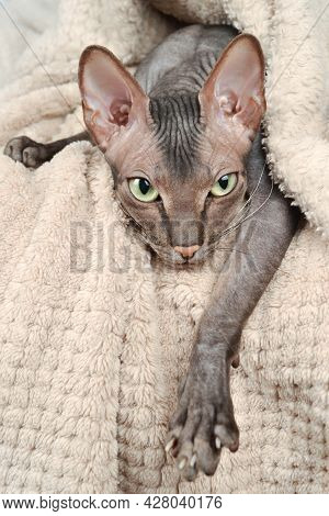 A Funny Gray Bald Kitten Of The Sphinx Breed Lies Relaxed, Calm Before Going To Bed, Wrapped In A Be