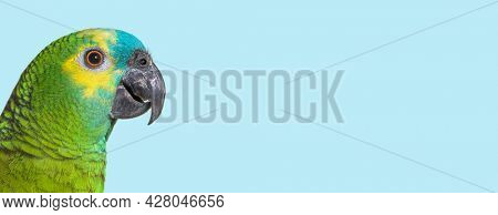 head shot Side view of Turquoise-fronted amazon against blue background