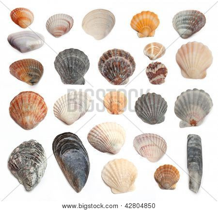 Cockleshells from the Black Sea on a white background