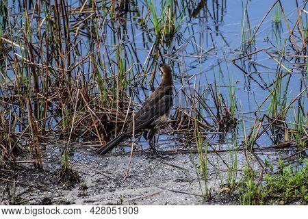 Boat-tailed Grackle (quiscalus Major), Arthur R Marshall National Wildlife Reserve, Loxahatchee, Flo