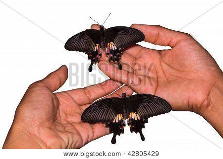 Common Mormon (papilio Polytes Romulus) Butterfly