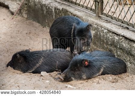 Little Wild Boars Lay Down And Sleeping On The Sand