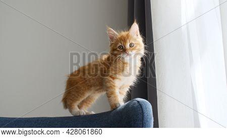 A Little Ginger Kitten Creeps Along The Back Of The Sofa. Kitten In The Lights Of A Sun. Cat Hunt. K
