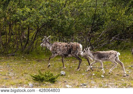 Female Reindeer With Her Young Calf In The Forests Of Lapland In Northern Finland