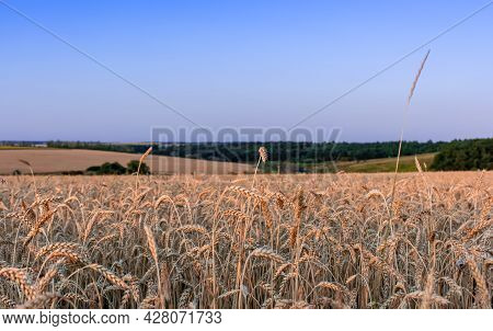 Beautiful Ears Of Wheat Against The Background Of A Blue Sky At Sunset Or Sunrise. Rural Landscape
