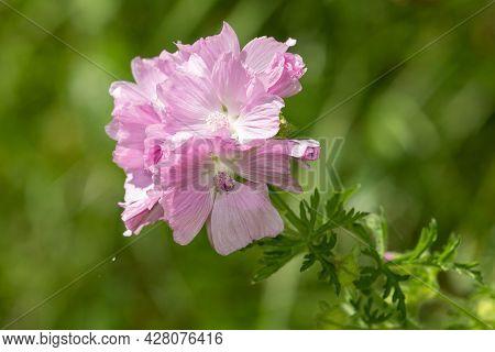 Musk Mallow (malva Moschata) Flower