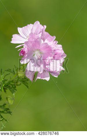 Close Up Of Musk Mallow (malva Moschata) Flowers