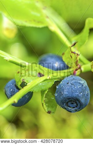 Blueberry. Blueberry Bush In The Forest On A Branch With Leaves. Close-up Of Ripe Blueberries.