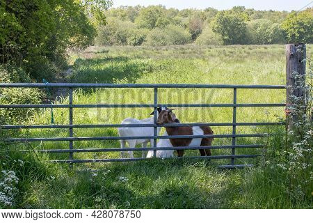Goats Hugging By Metal Gate. Rural England Farm Landscape. Nature And Domestic Animal Scene With Gre