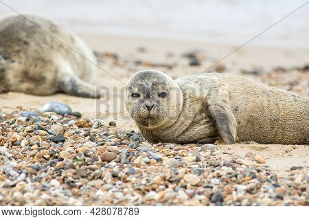 Grey Seal Pup On The Beach. Cute Animal Portrait Image. Sand Covered, And Colored, Seal Lying Down O