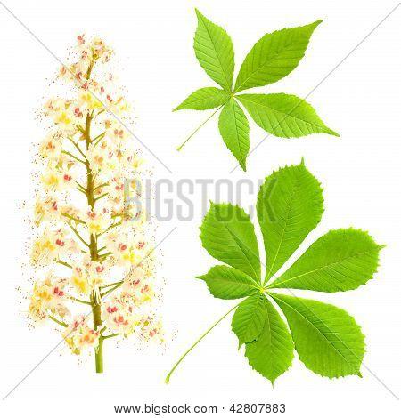 Chestnut Isolated On White. Aesculus Hippocastanum. Blossom Of Horse-chestnut Tree.
