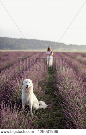 Maremma Sheepdog Sitting In Lavender Field And Looking At Camera While Her Female Owner Walking And