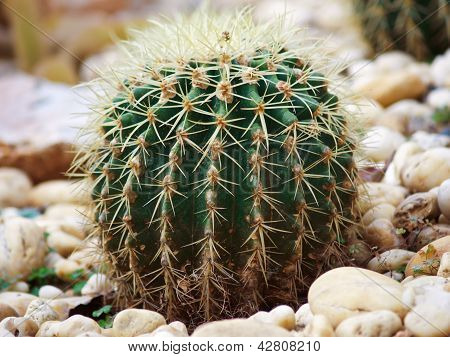 Close Up Of Globe Shaped Cactus With Long Thorns