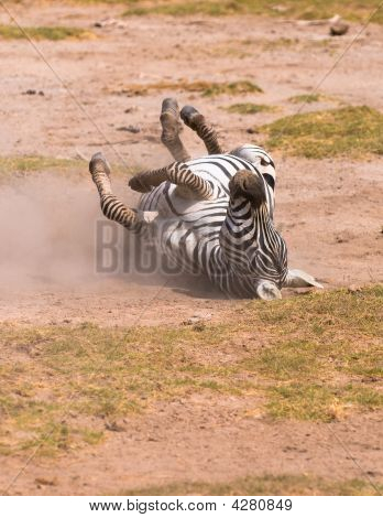 zebra taking dust bath amboseli national park kenya poster