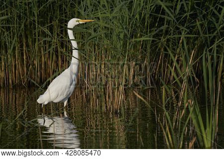 Great White Egret (ardea Alba) Hunting Amongst The Reed Along The Edge Of A Lake At Ham Wall In Some