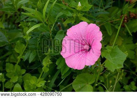Large Pink Mallow Flower Close-up With Raindrops. Blooming Pink Flowers Of Mallow Lavater