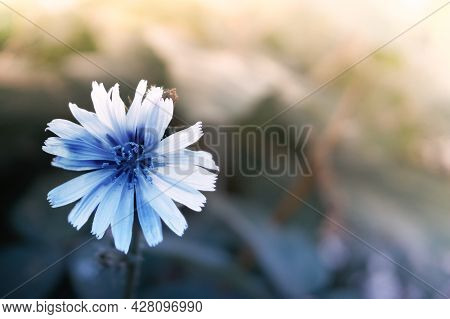 Light Blue Chicory Flower. Flowering Period Of Plants, Perennial Herbaceous Plant. Coffee Chicory Fl
