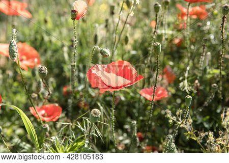 Nature Background Flower Poppy Sunrise. Wildflower.nature Background Flower Poppy Sunrise. Wildflowe