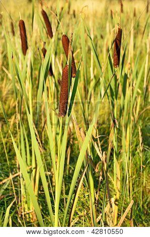 Bulrush Plants