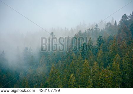 Foggy Nature Scenery. Coniferous Forest On A Cold Autumn Morning. Mysterious Atmosphere In Rainy Wea