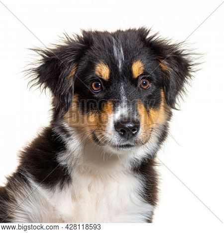 Black and tan Puppy Miniature American Shepherd, fourteen weeks old, isolated on white