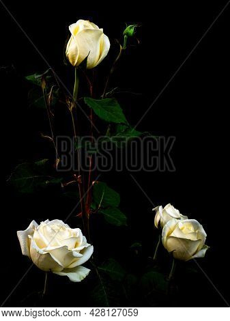 White Rose Flower On A Black Background.