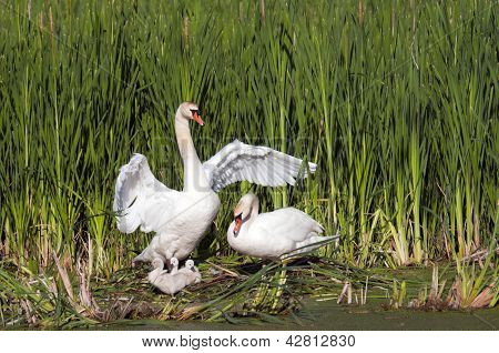 Adult Swans With Their Young