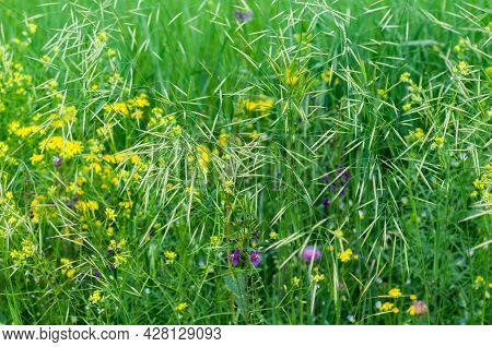 Beautiful Summer Floral Background With Delicate Yellow And Purple Flowers Close-up On Meadow In Gra
