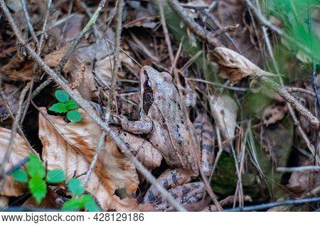 Brown Earthen Frog That Hides Well In Fallen Dry Foliage. Inhabitant Carpathian Forests Ukraine. Nat