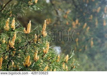 Pinus Sylvestris Scots Pine Scotch Pine European Red Pine Or Baltic Pine Selective Focus Branch With