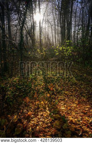 Autumn Forest Landscape With Sunrays, Tree Trunks And Colorful Leaves On The Ground, Copy Space, Sel