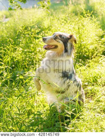 Young Adorable Mixed Breed Dog Standing On Back Paws While Waiting For Owner In Grass On Sunny Day,