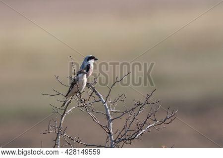Lesser Grey Shrike, Lanius Minor. In The Wild.
