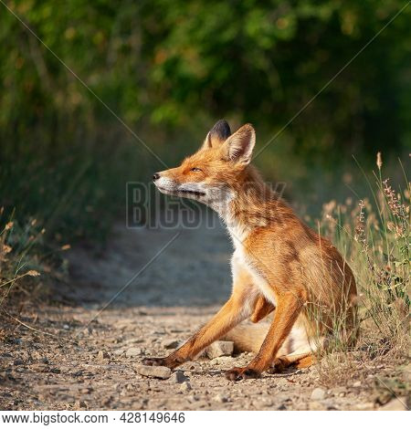 Close Up Of A Red Fox Vulpes Vulpes, Sitting On A Path In The Forest.