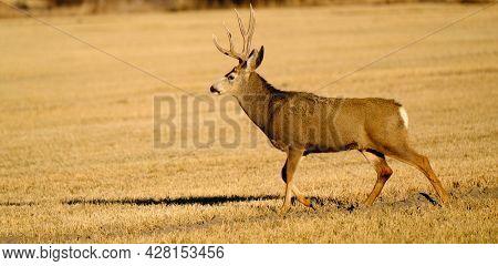 Mule deer or buck male animal in wilderness with antlers horms in field