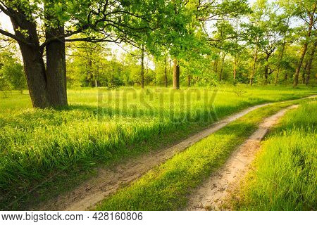 Beautiful Green Forest In Summer. Old Oak Tree And Road, Path, Way, Lane