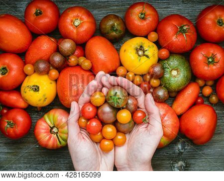 Fresh Heirloom Tomatoes And Hands Holding Cherry Tomatoes.