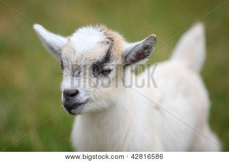 Cute baby goat cub on lawn