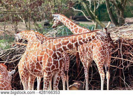 Group Of Giraffes . Amazing Animals In The Savanna . Wild African Herbivorous Animals