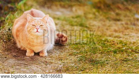 Red Cat Sitting On Green Spring Grass And Sniffs. Outdoor Portrait