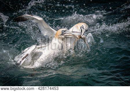 A Pair Of Gannets, Morus Bassanus, Fighting Over The Same Fish. Both Have Their Beaks On It And It I