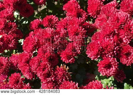 Florescence Of Red Chrysanthemums In Mid October