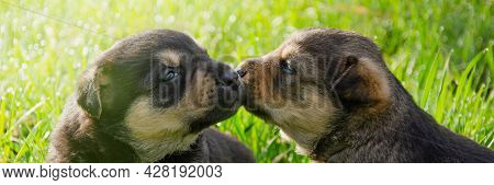 Two Puppies Are Kissing On The Grass On A Sunny Day. In Summer Puppies Lie On The Grass