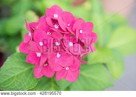 Close-up Of An Ajisai Flower With A Beautiful Pink Color. Green Leaves Around. Gardening Activity