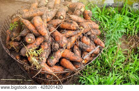 Freshly Picked Carrots In A Basket. Freshly Harvested. Agriculture And Farming. Harvesting, Harvest