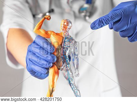 Doctor Hands Pointing To Human Body 3d Model Without Skin. Body Circulatory And Muscular Systems. An