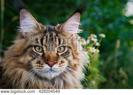 A Large Outdoors Portrait Of A Sitting Calm And Serious Furry Maine Coon American Cat Looking At Cam